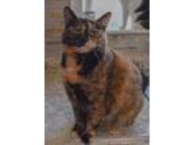 Adopt Cerce a Tortoiseshell Domestic Shorthair / Mixed (short coat) cat in
