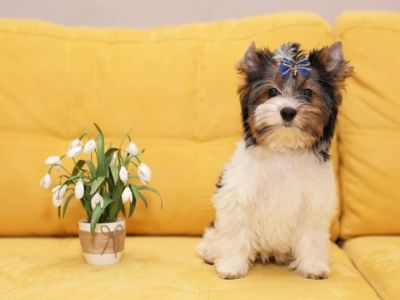 Biewer Terrier PUPPY FOR SALE ADN-71329 - Biewer Terrier puppy for sale