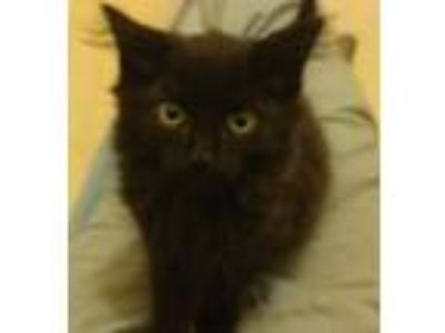 Kittens - Animals and Pets for Adoption Classifieds in New