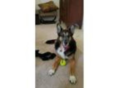 Adopt Leyna a German Shepherd Dog