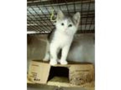 Adopt Vieni Qui a White (Mostly) Domestic Shorthair (short coat) cat in Trevose