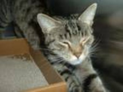 Adopt *Apple a Domestic Short Hair