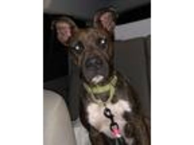 Adopt Juppie a Brindle - with White American Staffordshire Terrier / Mixed dog