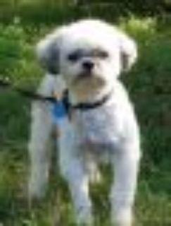 Putt Putt Shih Tzu - Poodle Dog