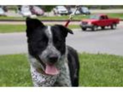 Adopt 5187 Vegas a Australian Cattle Dog / Blue Heeler, Labrador Retriever