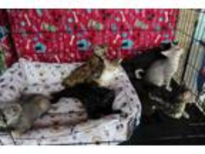 Adopt Collette's Kittens (Courtesy Posting) a Domestic Short Hair