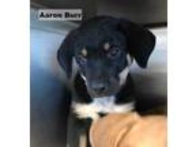 Adopt Aaron Burr a Black Mastiff / Rottweiler / Mixed dog in Mission