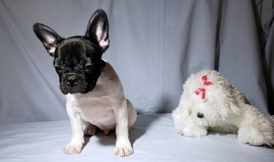 French Bulldog PUPPY FOR SALE ADN-108665 - FrenchieZ PuP