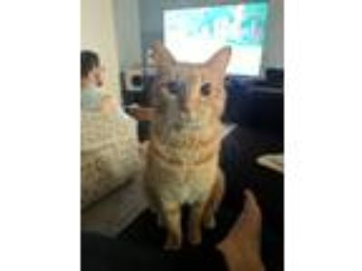 Adopt Marmalade a Orange or Red Domestic Shorthair / Mixed cat in Porter