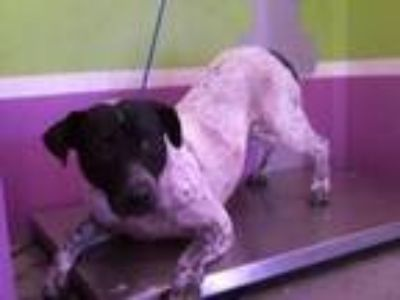 Adopt A1632625 a German Shorthaired Pointer, Mixed Breed