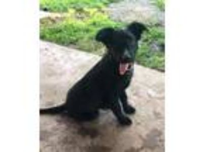 Adopt Wendy Robinson a Black Shepherd (Unknown Type) / Mixed dog in Providence