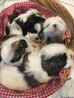 House Trained shih tzu Puppies Available For Sale!