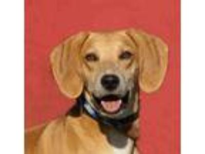 Adopt Smiley *Graduate* a Red/Golden/Orange/Chestnut Labrador Retriever / Hound