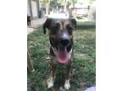 Adopt Haleigh a Tricolor (Tan/Brown & Black & White) German Shepherd Dog / Mixed