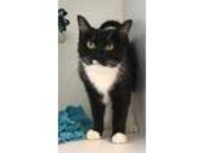 Adopt Tahani a All Black Domestic Shorthair / Domestic Shorthair / Mixed cat in