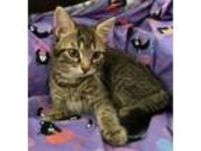 Adopt Mary Kate a Domestic Short Hair, Tabby