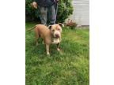 Adopt Lexi a Brown/Chocolate - with White American Pit Bull Terrier / Mixed dog