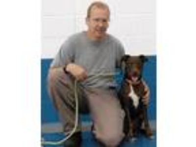 Adopt Hershey a Brown/Chocolate - with White Labrador Retriever / Mixed dog in