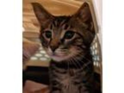 Adopt Shark a Brown Tabby Domestic Shorthair / Mixed (short coat) cat in Redwood