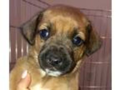 Adopt Layla a Tan/Yellow/Fawn - with Black Beagle / Labrador Retriever / Mixed