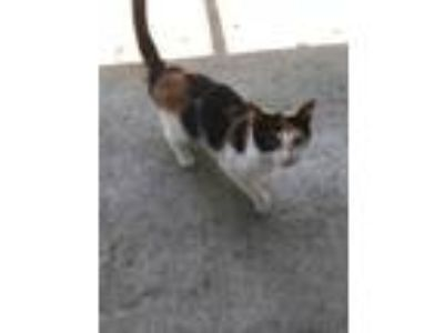 Adopt June (PM) a White Domestic Shorthair / Domestic Shorthair / Mixed cat in