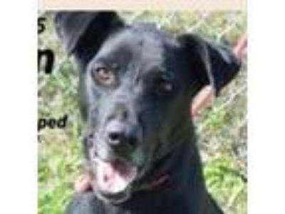 Adopt Carlton a German Shepherd Dog, Black Labrador Retriever