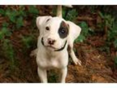 Adopt Lilith a White - with Brown or Chocolate Boxer / Pointer / Mixed dog in