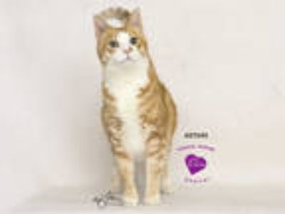 Adopt ROWLEY a Orange or Red Tabby Domestic Shorthair / Mixed (short coat) cat