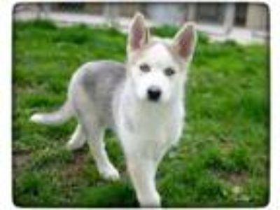 Adopt Sky a Tan/Yellow/Fawn Husky / Mixed dog in Rochester, MN (25331287)