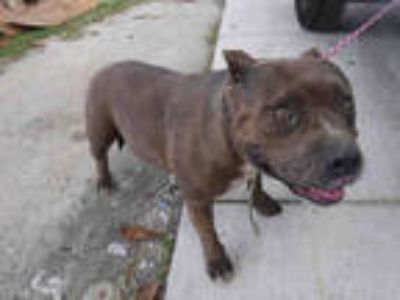 Adopt JUNE a Brindle - with White Terrier (Unknown Type, Medium) / Mixed dog in