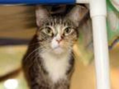 Adopt BUBBLES a Domestic Short Hair