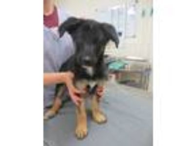 Adopt Theo a German Shepherd Dog