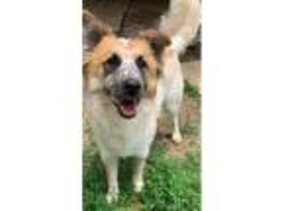 Adopt Ethan a White - with Tan, Yellow or Fawn Collie / Mixed dog in South Park