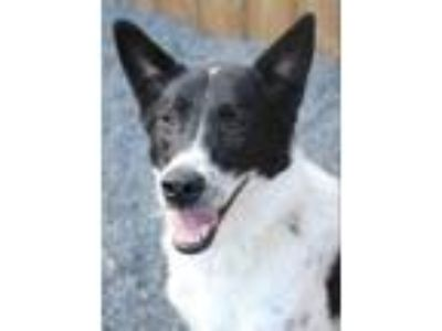 Adopt Misty a Border Collie / Akita / Mixed dog in Quakertown, PA (25199014)