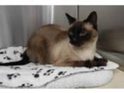 Adopt Milo a Brown or Chocolate (Mostly) Siamese (short coat) cat in Mesquite