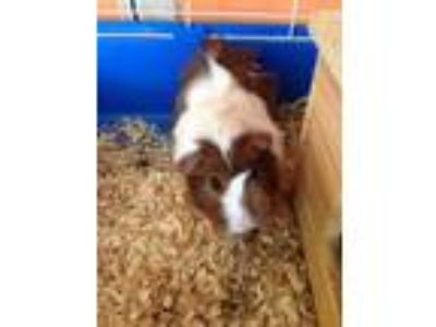 Adopt Linny a Brown or Chocolate Guinea Pig / Guinea Pig / Mixed small animal in