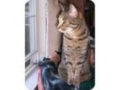 Adopt Kobe a Spotted Tabby/Leopard Spotted American Shorthair (short coat) cat