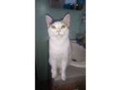 Adopt Sully a White (Mostly) Abyssinian / Mixed cat in Indio, CA (22293175)