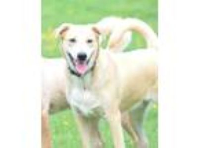Adopt Dominic a Tan/Yellow/Fawn - with White Labrador Retriever / Hound (Unknown