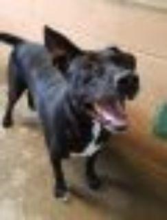 BIG BOY Labrador Retriever - Great Dane Dog