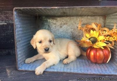 Dgrt Male and female golden Retriever puppies avilable for adoption