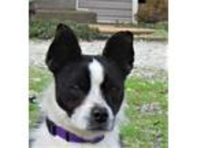 Adopt Saul a Boston Terrier, Jack Russell Terrier