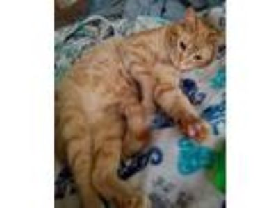 Adopt Franklin (courtesy listing) a Domestic Short Hair