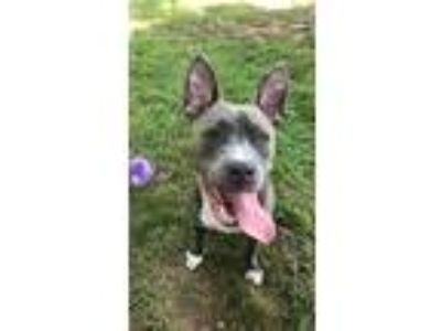 Adopt Ashes a Pit Bull Terrier / Mixed dog in Baltimore, MD (25585280)