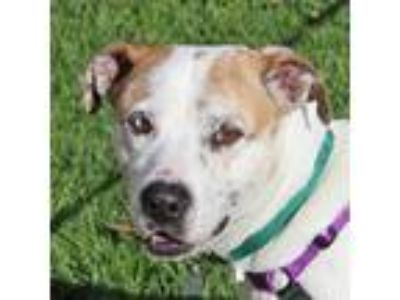 Adopt Buck a White - with Brown or Chocolate Staffordshire Bull Terrier / Boxer