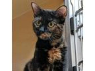 Adopt Mississippi a Domestic Shorthair / Mixed cat in Austin, TX (25313227)