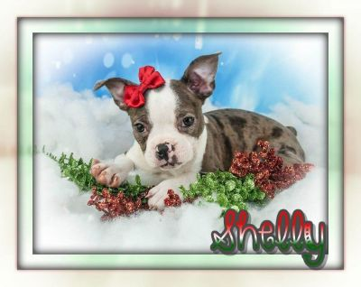 Shelly Female Boston Terrier ACA