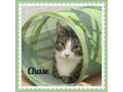 Adopt Chase a Domestic Short Hair