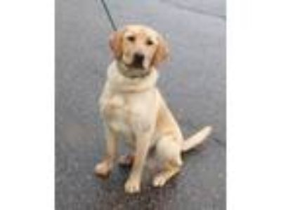 Adopt Mulligan a Yellow Labrador Retriever