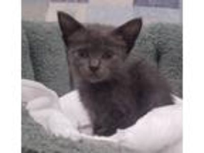Adopt Almond Joy a Gray or Blue Domestic Shorthair / Mixed cat in Youngsville